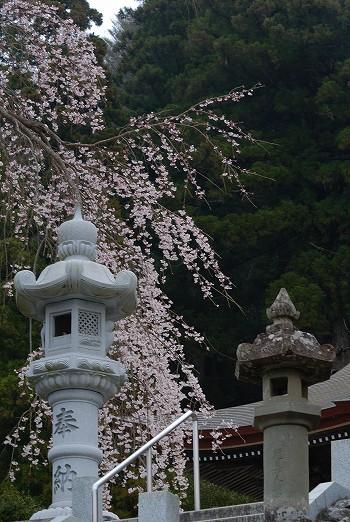 お寺にしだれ桜