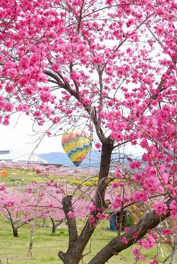 桃の花と気球